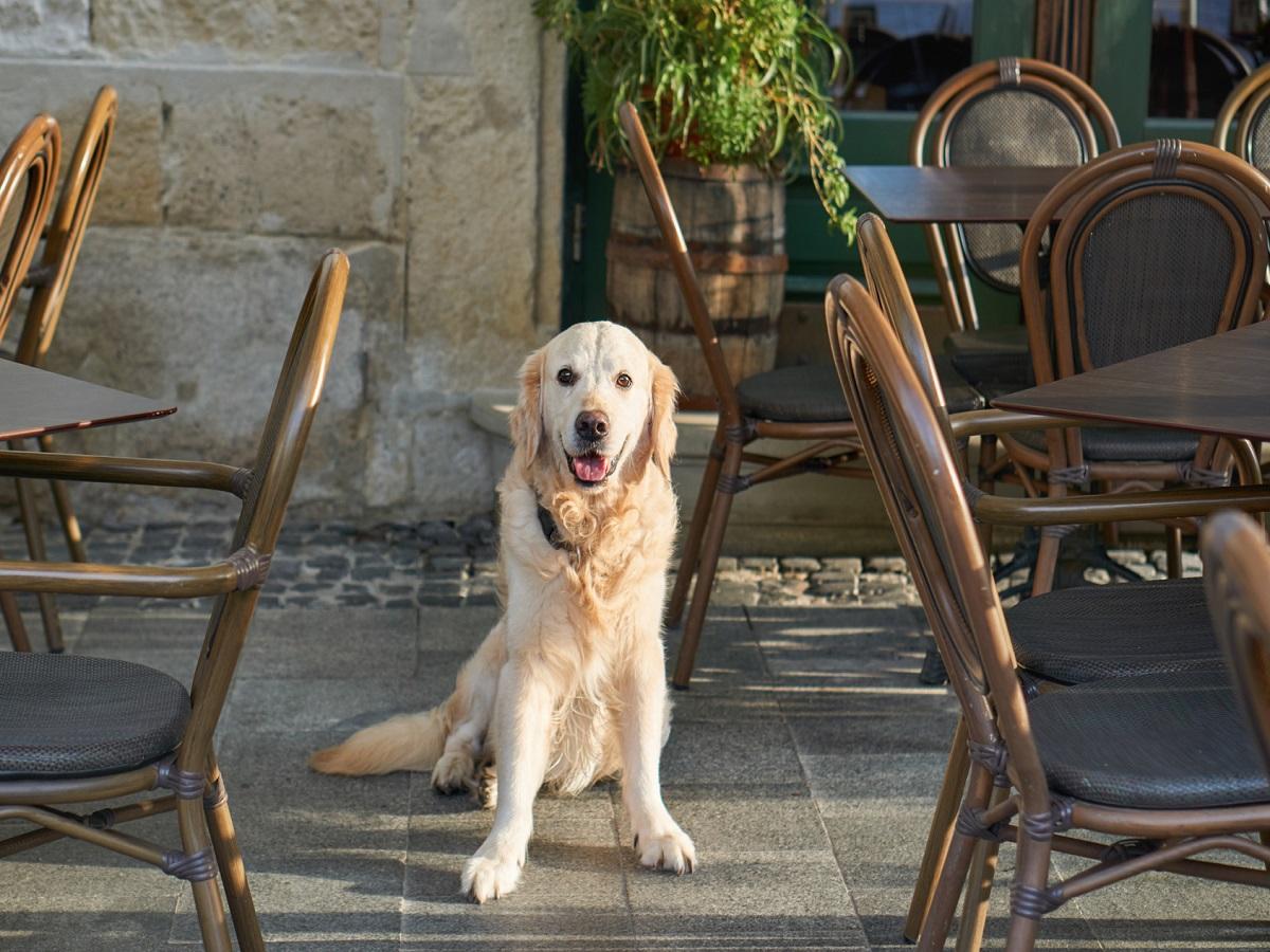 Insektenstiche beim Hund. Golden Retriever sitzend im Terrassenbereich eines Restaurant