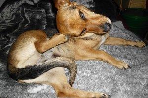 Startseite Milben beim Hund. Hund kratzt sich