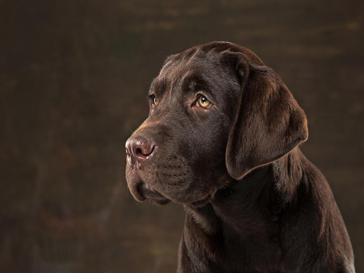 Flöhe beim Hund. Das Porträt eines schwarzen Labrador-Hundes genommen gegen einen dunklen Hintergrund