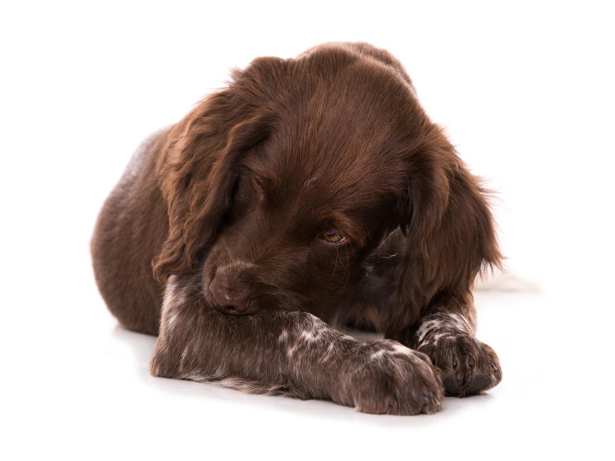 Futtermilben beim Hund. Liegender Münsterländer Welpe knabbert an seinem Bein isoliert auf weißem Grund