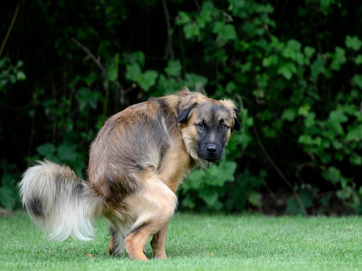 Giardien beim Hund. Hund macht auf Wisse