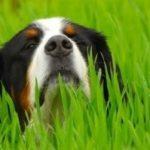 Grasmilben beim Hund. Hund im hohen Gras