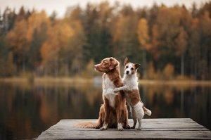 Hirschlausfliege beim Hund. Jack Russell Terrier und Nova Scotia ducking Retriever auf einem hölzernen Pier am Waldsee