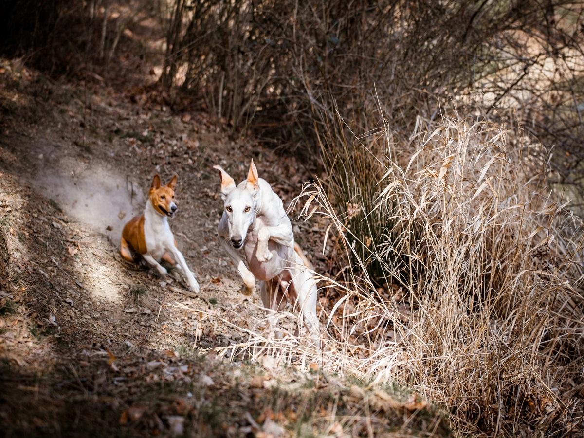 Hirschlausfliege beim Hund. 2 Hunde beim spielen, ein Basenji jagt einen Galgo