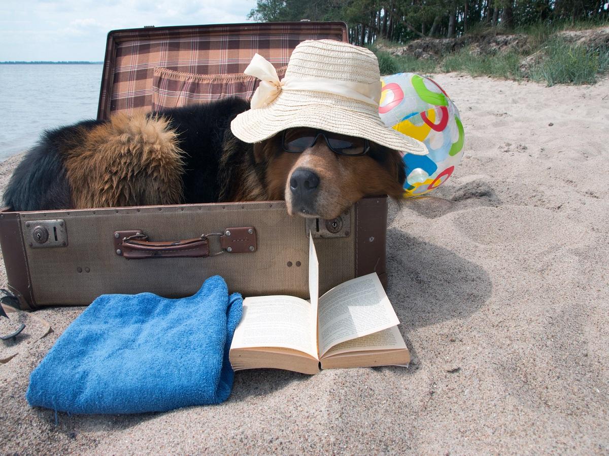 Hundehautwurm beim Hund. Hund im Koffer mit Hut und Sonnenbrille im Sommer liegt am Strand