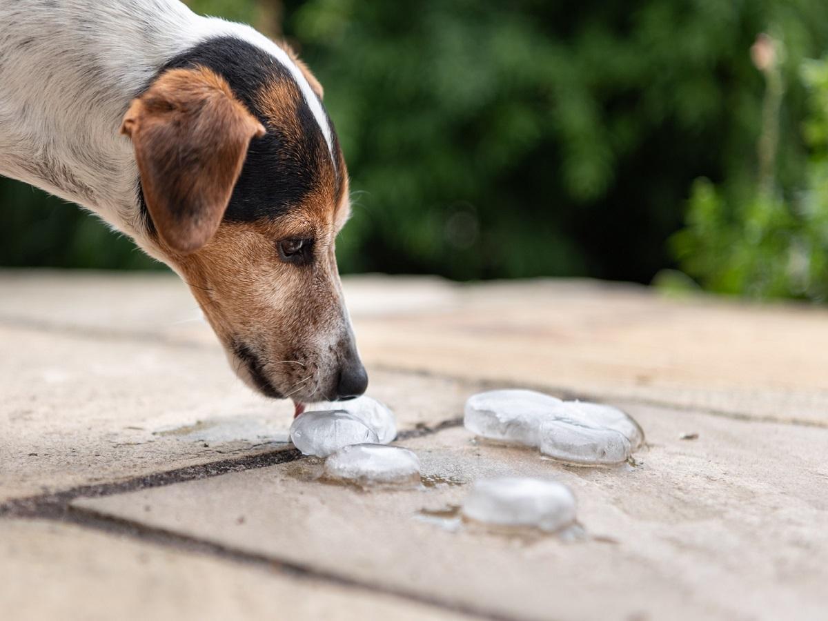 Insektenstiche beim Hund. Hund schleckt Wassereis