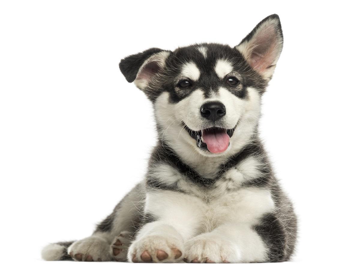 Kokzidiose beim Hund. Husky Malamute Welpe liegend, keuchend, isoliert auf weiss