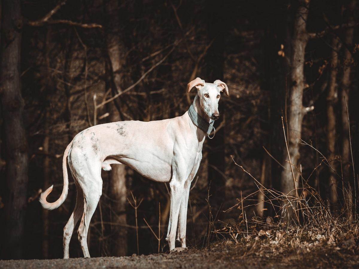 Kriebelmücken beim Hund. Galgo Español frei laufend im Wald
