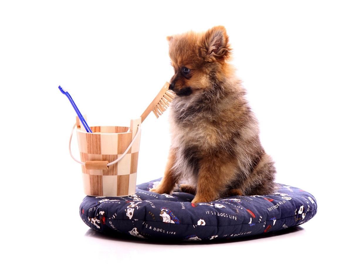 Milben beim Hund. Welpe Zwergspitz mit Reinigungsutensilien