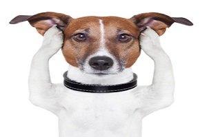 Ohrmilben beim Hund. Hund hebt sich die Ohren zu
