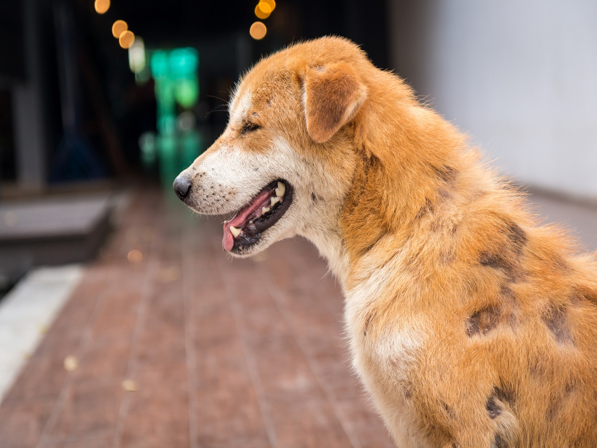 Räude beim Hund. Hund mit fehlenden Fell zum Teil