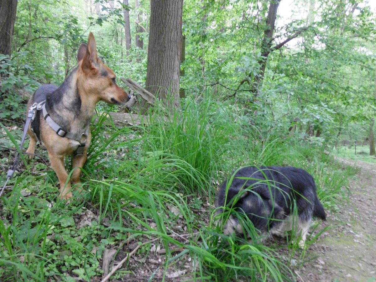 Startseite Milben beim Hund. Zwei Hunde im Wald